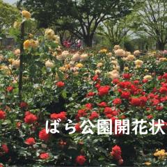 福山市バラ開花