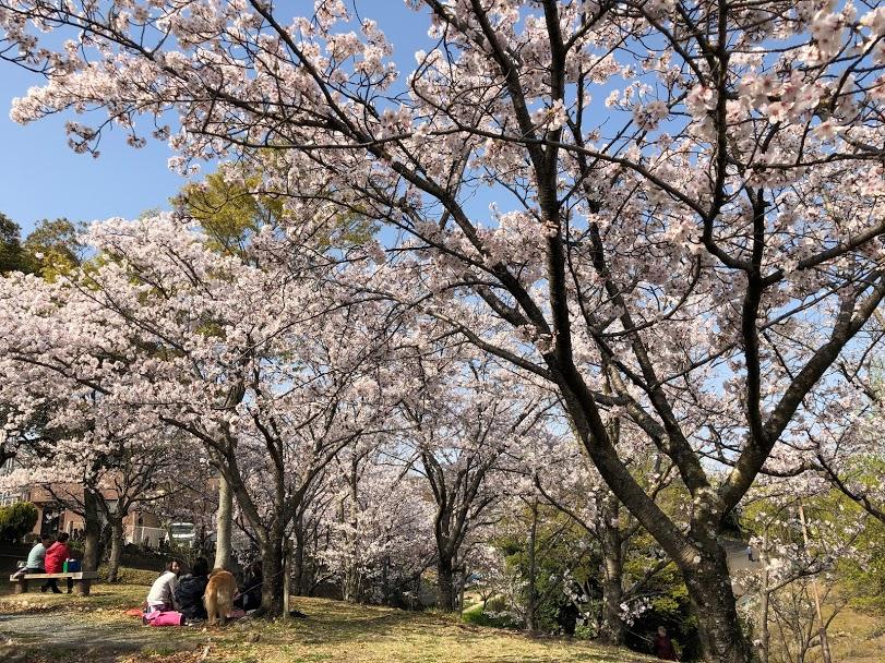 春日池公園桜