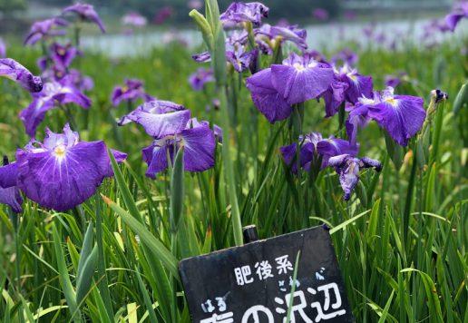 春日池公園菖蒲